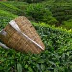 Tea picker bag with fresh leaf over a bush on tea plantation at Cameron Highlands, Malaysia — Stock Photo #27196279