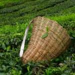 新鲜叶对布什关于在马来西亚金马伦高原的茶园与茶叶机械臂袋 — 图库照片 #27196393