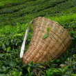 saquito selector con hojas frescas sobre un arbusto en plantación de té en cameron highlands, Malasia — Foto de Stock   #27196393
