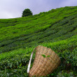saquito selector con hojas frescas sobre un arbusto en plantación de té en cameron highlands, Malasia — Foto de Stock   #27196665