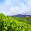 Tea plantation at Cameron Highlands, Malaysia — ストック写真