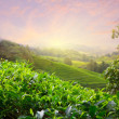 thee plantage in cameron highlands, Maleisië — Stockfoto