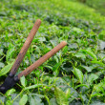 forbici taglio di tè sopra un cespuglio in piantagione di tè presso cameron highlands, malaysia — Foto Stock