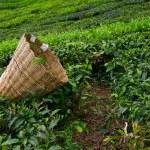 新鲜叶对布什关于在马来西亚金马伦高原的茶园与茶叶机械臂袋 — 图库照片 #27197471