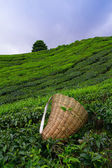 Tea picker bag with fresh leaf over a bush on tea plantation at Cameron Highlands, Malaysia — Stock Photo