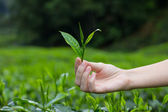 Fresh tea leaves in fingers over tea bushes on plantation — Stock Photo