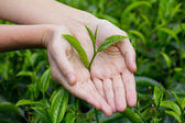 Fresh tea leaves in hands over tea bush on plantation — Stock Photo