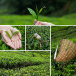Beautiful collage of tea bushes on plantation and hand harversting — Stock Photo #38842059