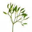 Stock Photo: Mistletoe twig with leafs and berrys