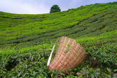 Tea picker bag and scissors with fresh leaf over a bush on tea plantation — Stock Photo