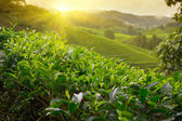 Tea plantation at Cameron Highlands, Malaysia — Stock Photo