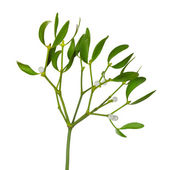 Mistletoe twig with leafs and berrys — Stock Photo