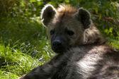 Portrait of a hyena — Stock Photo