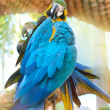 Parrot feathers brushing. — Stock Photo #44914637