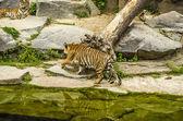 The Tigers company — Stock Photo