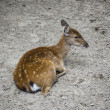 Little deer — Stock Photo #12261501
