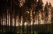 Ukraine, Carpathians, Sunset trees — Stock Photo