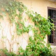 Wall with green plant and window in Spain, Europe. — Stock Photo