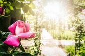 Rosa ros i förgrunden och trädgård i bakgrunden. — Stockfoto