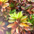 Beautiful plant with leaves of different colors. — Stock Photo