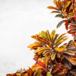 Lush plant of different colors near white wall. — Stock Photo