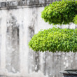 Stock Photo: Green lush foliage of bonsai in sunny weather.