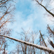 Bare winter forest on blue sky background. — Stock Photo