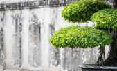 Green lush foliage of bonsai in sunny weather. — Foto de Stock
