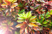 Plant with leaves of different colors — Stock Photo