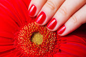 Red manicure and flower gerbera — Stock Photo