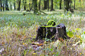 Old tree stump in forest — Stock Photo