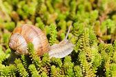 Snail in succulents — Zdjęcie stockowe