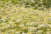 Wild white flowers field — Stock Photo
