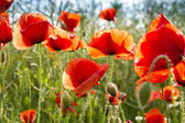 Field of Corn or Red Poppy Flowers — Stock Photo