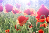 Field of Red Poppy Flowers — Stock Photo