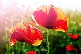 Field of Red Poppy Flowers — Stock Photo