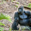 Постер, плакат: Gorilla sitting in the jungle