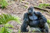 Gorilla sitting in the jungle — Stock Photo