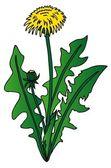 Dandelion on white background — Stock Vector