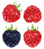 Raspberries & blackberry — Vector de stock