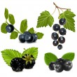 Stock Vector: Black berries with leaves.