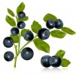 Bilberry with leaves. — Stock Vector #33426221