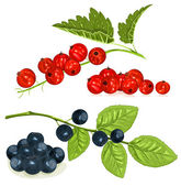 Red currants and blueberries — Stock Vector