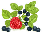 Bilberries (blueberries) and raspberry — Stock Vector