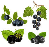 Black berries with leaves. — Stock Vector