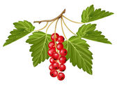 Vector red currant. — Stock Vector