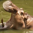 Hippo Hippopotamus  — Stock Photo