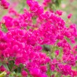 Stock Photo: Bougainvilleflower