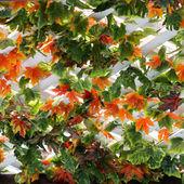 Maple leaves background — Stock Photo