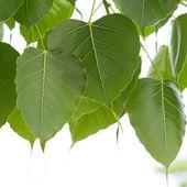 Bo leaves. — Stock Photo